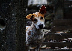 ,, Little Freckles ,, (Jon in Thailand) Tags: puppy dog k9 jungle ears nose eyes steps nikon cute d300 nikkor 175528 darkjungle triplecanopyjungle littlefreckles freckles littlebigears littledoglaughedstories
