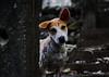 ,, Little Freckles ,, (Jon in Thailand) Tags: puppy dog k9 jungle ears nose eyes steps nikon cute d300 nikkor 175528 darkjungle triplecanopyjungle littlefreckles freckles littlebigears littledoglaughedstories