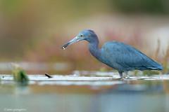 _NGR8030garza-azul (ninograngetto@hotmail.com) Tags: aves argentina laguna marchiquita córdoba nikon naturaleza d4s 600mm