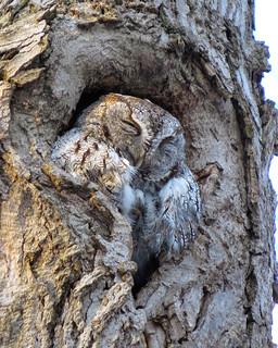 Petit-duc maculé / Eastern screech-owl / Otus asio / IMG_3835_lzn2-1