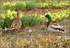 Frühling bei den Enten, auf der Osterglockenwiese ... (Kindergartenkinder) Tags: enten grugapark essen gruga wasservogel tier kindergartenkinder osterglocken blumen frühling