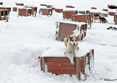 Relaxed Husky (laurawirges) Tags: husky norway snow sledge dog