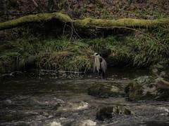 Stalking (Rabster Rewired) Tags: gx1 panasonic lightroom scotland thehermitage pitlochry dunkeld water river heron fishing