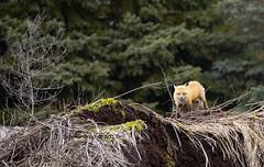 2A3A9830s (sabrina_gross78) Tags: fox foxes cubs cub nursing botanicalgardens wildlife babyanimals babyanimal jardinbotaniquedemontreal montrealbotnanicalgardens montreal quebec canada