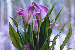 Spring Inside-Snowing Outside (Lindaw9) Tags: calla lilies spring window snowing birch trees snow flakes