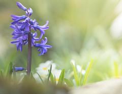 Sunbathing (marcmayer) Tags: flower spring nature natur garden bokeh dof depth field nikon d5200 nikkor 50mm f18 soft sun sonne warm frühling