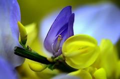 378211 (io me4) Tags: fiori primavera colori giallo viola nikon d7000 macro bokeh