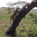 The Serengeti's Tree Climbing Lions