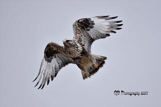 Rough-legged Hawk DSC_2515
