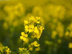 Der Raps blüht! (mohnblume2013) Tags: rapsfeld felder landschaft frühling gelb rapsblüte