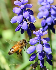 full load --EXPLORED (judecat ( celebrating spring)) Tags: insect bee honeybee grapehyacinth purple flowers nature wildlife pennsylvaniawildlife mygarden