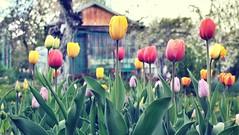 Something fresh, more colorful :) (Anna Antoniewska Fotografia) Tags: flowers canon analog bokeh