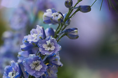 (Light Echoes) Tags: sony a6000 2017 macro tamron90mm winter march philadelphia philadelphiaflowershow philadelphiainternationalflowershow flower delphinium blue