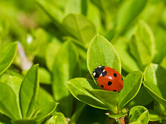 Seven-spot Ladybird (sivaD nhoJ) Tags: ladybird cocinellaseptempuncata coccinellidae insect invertebrate arthropod sevenspotladybird animal wildlife nature macro 2017