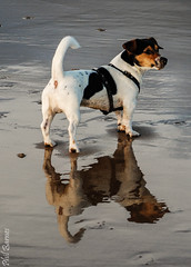 Chief and reflection (philbarnes4) Tags: broadstairs chief water puppy dog canine hound jack russell beach sand sea viking bay thanet kent england