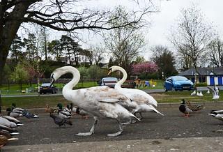 Giant swans.
