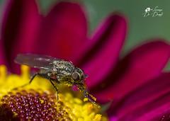 Aria di primavera! (lulo92) Tags: insect mosca flower fiore yellow plant pianta green verde giallo macro micro sigma sigma105 nikon nikontop top macrofagy insetto dettagli details spring primavera sole sun caldo hot beaty polline