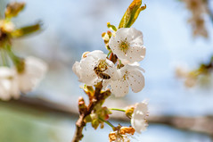 _DSC7498 (KateSi) Tags: cherryblossoms blossoms flowers fleurs blomster cherrytree spring vår primavera printemps white blanche blanco hvitt bees honeybee honeybees abeja abeille bie abejas biers abeilles nikon nikond90 depthoffield nature naturaleza natur