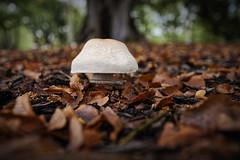 Autumn underfoot (J-C-M) Tags: autumn park mushroom growth leaves fallen leaf season melbourne victoria australia
