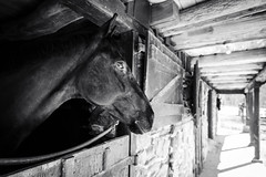 - (Jen MacNeill) Tags: warmblood farm horse watermarkfarm equine blackandwhite bw
