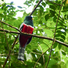 Collared Trogon / Trogon collaris, Asa Wright, Bellbird walk (annkelliott) Tags: trinidad westindies asawrightnaturecentre trail nature ornithology avian bird birds trogon collaredtrogon trogoncollaris trogonidae perched tree branch frontsideview colour colourful forest rainforest outdoor 16march2017 fz200 fz2004 annkelliott anneelliott ©anneelliott2017 ©allrightsreserved