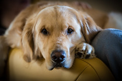 Yogi '17 (R24KBerg Photos) Tags: sleepy happy goldenretriever yogi canon pet nc northcarolina dog cute handsome friend portrait bokeh 2017 sweet jowls animal closeup