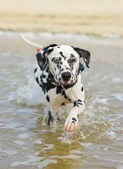 mustang - dalmatien (stphanielegay) Tags: mustang dalmatian dog water photography nikond7200 50mmf18d nikon