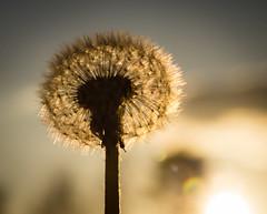 blowball at sundown (Danyel B. Photography) Tags: blowball pusteblume flower plant blume pflanze macro makro close nah nature outside natur laowa venus 60mm 28 21
