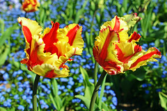 Flaming parrot tulips (misi212) Tags: flaming parrot tulips