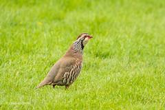 Red-legged Partridge - On the edge of the 12th fairway D50_8389.jpg (Mobile Lynn) Tags: birds redleggedpartridge nature wild alectorisrufa bird fauna gamebird wildlife reading england unitedkingdom