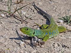 Lagarto ocelado (Timon lepidus) (1) (eb3alfmiguel) Tags: reptiles lagarto