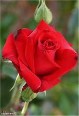 First of 2017 (Ubierno) Tags: rose spring primavera ורוד 粉红色 핑크 pembe rózsaszín ピンク розовый ροζ roze गुलाबी bándearg abril april avril ubierno rosa printemps gr garden jardín alicante valencia comunitat comunidad valenciana