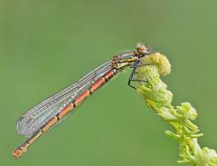 Large red damselfly (Roger H3) Tags: insect odonata damselfly red large