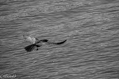 Corneille prend son envol. (Crilion43) Tags: france oiseaux corneille vichy paysage allier rivière auvergne corbeau eau merle pigeon plage
