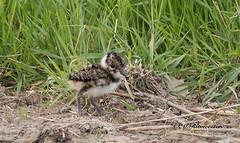 Kievit juveniel / Vanellus vanellus (m.ritmeester) Tags: ngc naturelovers natuur nederland nijkerk gelderland groen bruin kievit wit zwart