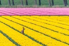 Deer and tulips (dave_poth) Tags: