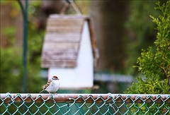 We Don't See Many Chipping Sparrows...This One Is A Regular Here (Sue90ca Spring Chores Keeping Me Too Busy) Tags: canon 6d sparrow chipping