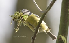 Blue tit (Emma Carr Photography) Tags: bird photography penningtonflash nerd nature wildlife pennington flash