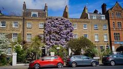 Wisteria! Lambeth Road, London, April 2017 (sbally1) Tags: wisteria london lambeth eccentric terrace house