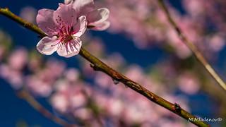 Peach blossom 08