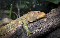 chester zoo1 (macmarkmcd) Tags: lizard chesterzoo chester nikon d300 70300mm