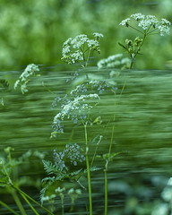 cow parsley multimage (Wendy:) Tags: wild flowers multimage incamera green 50mm cpl odc