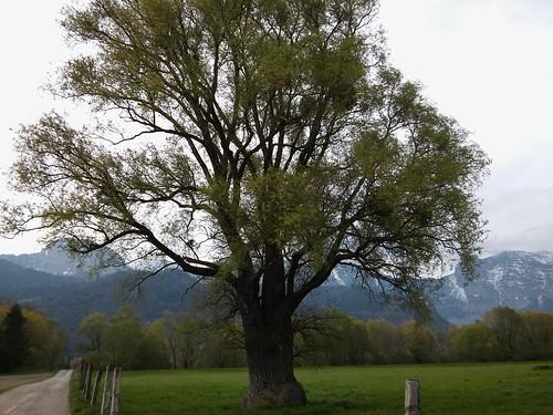 Salix sp. 20170426_175515