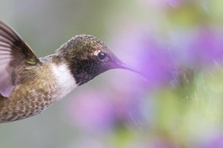 蜂鳥與花霧 (Pride of Madeira mist & Black-chinned Hummingbird )7D741741