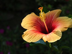 in the shadow (oneroadlucky) Tags: nature plant flower hibiscus orange