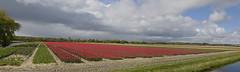 Tulpenvelden Noordwijkerhout (Roelie Wilms) Tags: tulips tulpen tulp noordwijkerhout zuidholland nederland red rood wolken clouds spring