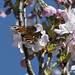 Dagpaauwoog - Aglais io