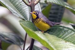 IMG_8036 Canada Warbler (suebmtl) Tags: ecuador canadawarbler copalinga lodge zamora chinchipe province songbird migrant wilsoniacanadensis cardellinacanadensis