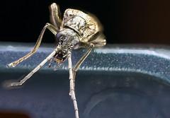 alien visitor (Danyel B. Photography) Tags: bug alien käfer macro makro close nah insect insekt stack stacking laowa venus 60mm 28 21