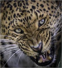 Ta'iri 2 (jdl1963) Tags: whf wildlife heritage foundation big cat sanctuary smarden kent tairi north chinese leopard
